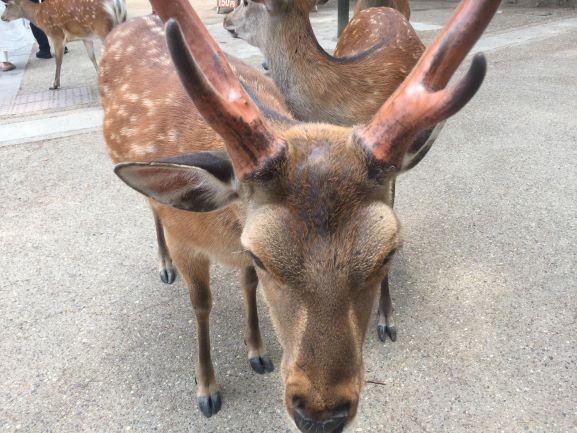 鹿の顔アップ